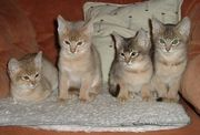 CFA Abyssinian Kittens for Sale