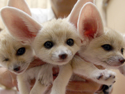 Cheetah,  Baby Lion,  tiger cubs,  Leopard and Fennec foxes  for sale