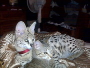 From licensed servals,  caracals,  F1-F6 Savannah kittens,  ocelot kitten