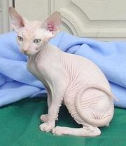 Sphynx kittens are ready to go to their new home