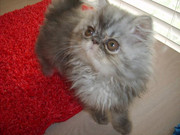 CFA Pedigree Fancy Himalayan Kittens!