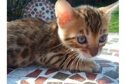 Bengal Kittens,  TICA registered. -