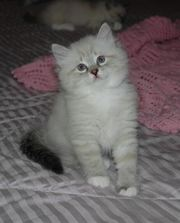 siberian kittens avialable as from 3 july