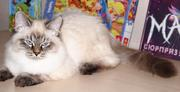 Adorable SIB (Neva Masquerade) male-kitten for Show and Breed