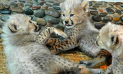 Cute Serval ,  Cheetah and Margay kittens available