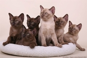 European burmese kittens sale