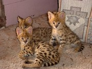 Cheetah ,  Serval,  ocelot kittens available