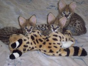Serval,  Savannah,  Cheetahs and Ocelot kittens