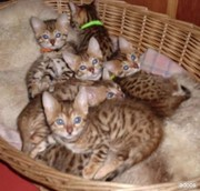 male and female Bengal kittens for a new home