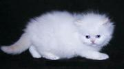 Cute persian kittens for good homes