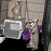 Home raised Serval, Cheetah and F1-F3 Savannah kittens