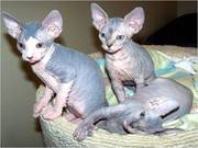 3 affectionate Sphynx Kittens ready for sale