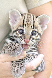 Savannah ,  Serval ,  Margay and Ocelot kittens for sale