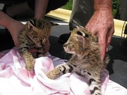 serval kittens for good homes