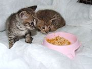 F3 savannah kittens for new home