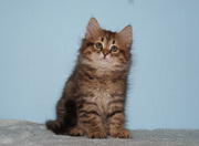 Siberian kittens for professional cattery