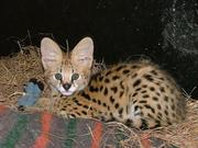 Bengal kittens,  serval,  caracal,  savannah and Ocelot availabel